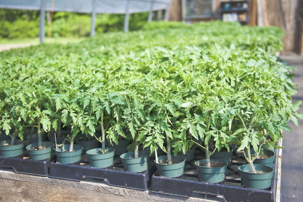 Jak na pěstování rajčat? - sazenice rajčat
