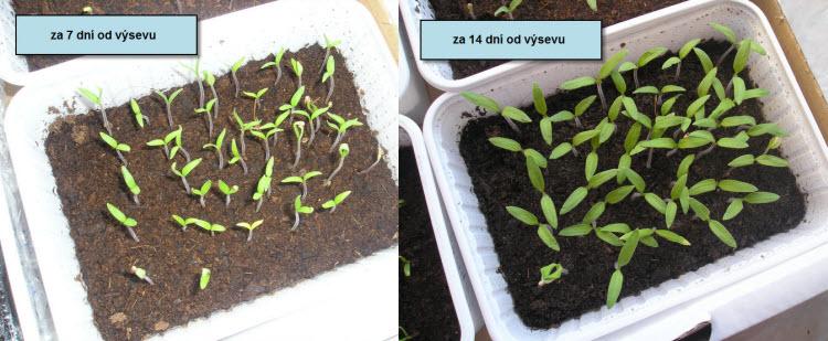 Tyčková rajčata na pole, pravé lístky, prvních 14 dní od výsevu