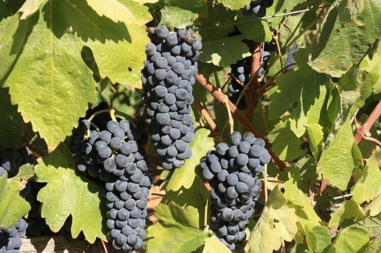 Hroznové víno