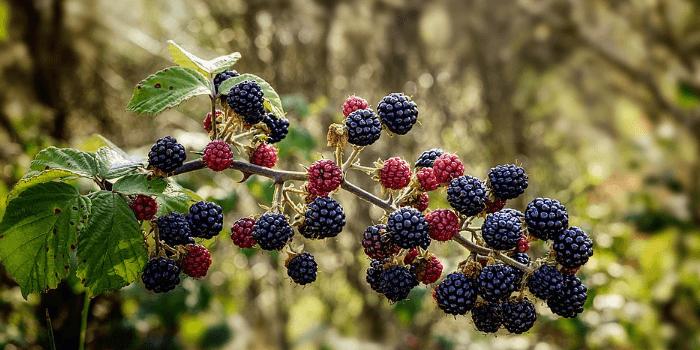 Plody ostružin