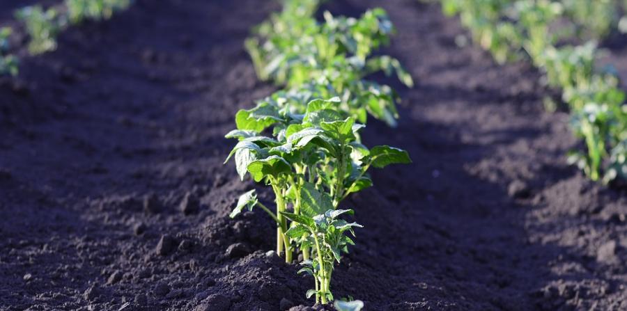 Rostlinka brambor